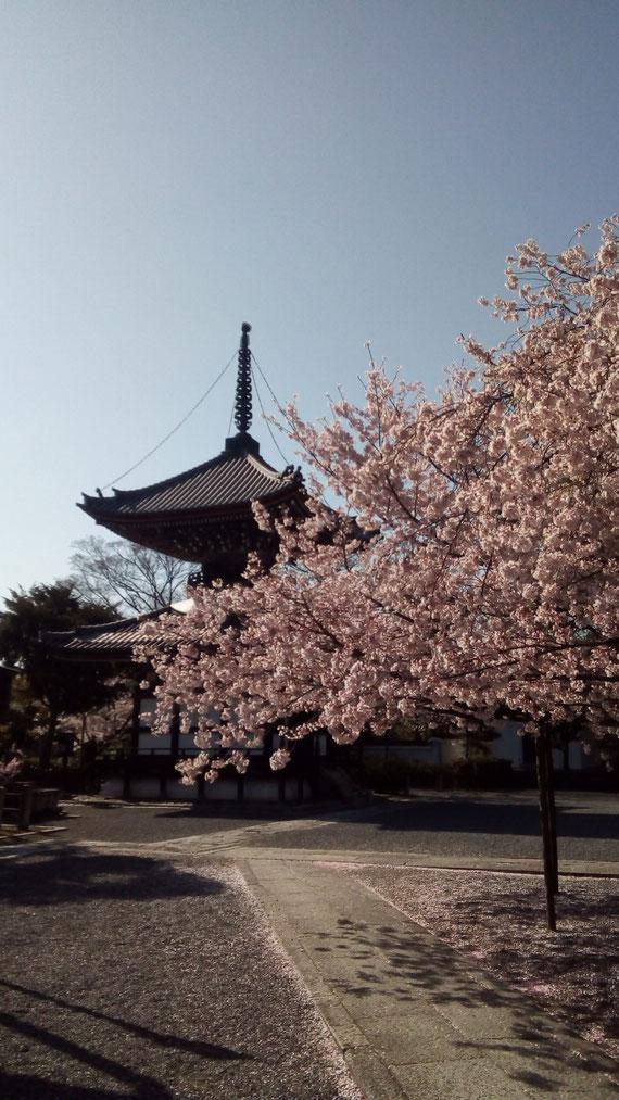 京都サスペンスマジックの隠れ桜です。ロケ地紹介 本法寺 京都観光タクシー英語通訳士 永田 信明