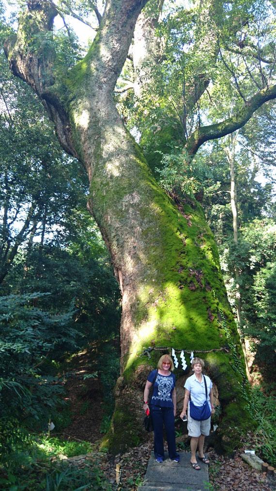 奈良豆比古神社のご神木 樹齢1000年以上の楠木