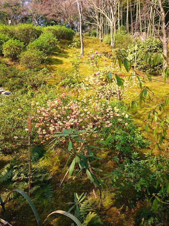 ミツマタ、和紙の原料として利用されてきた落葉樹