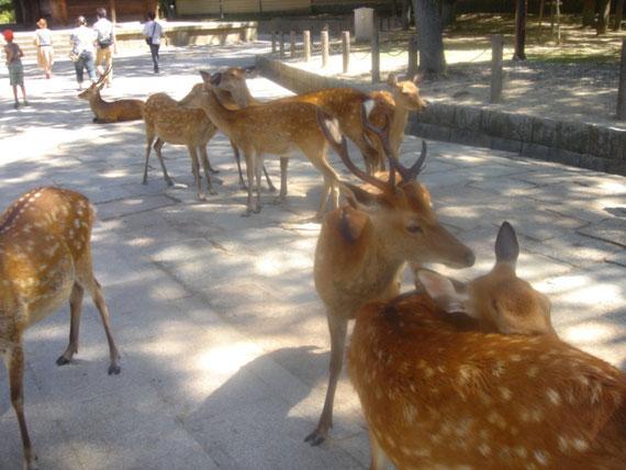 奈良ペットのような野生の神の使いの鹿たち