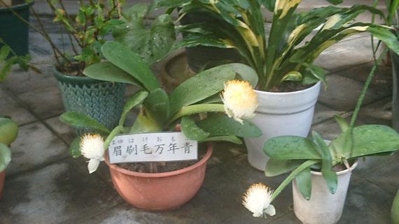 眉刷毛万年青(マユハケオモト) ふわふわとした刷毛のような花