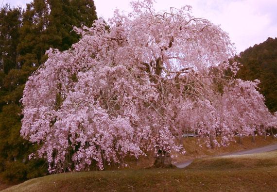 京の奥座敷にある枝垂れ桜です。