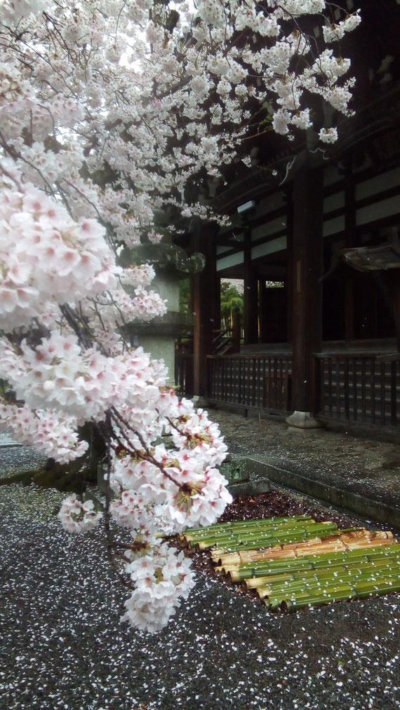 定点観測の桜 本法寺