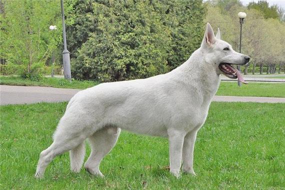 фото белые немецкие овчарки