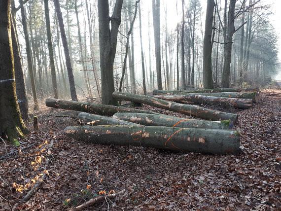Pfälzerwald, Januar 2020: Überall fallen dicke Buchen und werden abtransportiert.