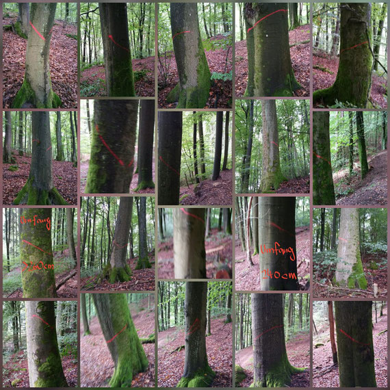 Herbst 2019: Angezeichnete Altbuchen in einem Waldgebiet bei Kaiserslautern