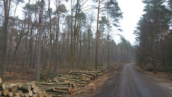 Pfälzerwald Februar 2020, Nähe Hochspeyer: über große Strecken werden die Jungbuchen eingeschlagen und der Wald weiter aufgelichtet.