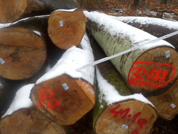 Buchenschirmschlag im Pfälzerwald