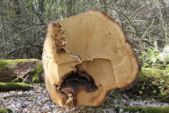 Einschlag alter Buchen im Pfälzerwald