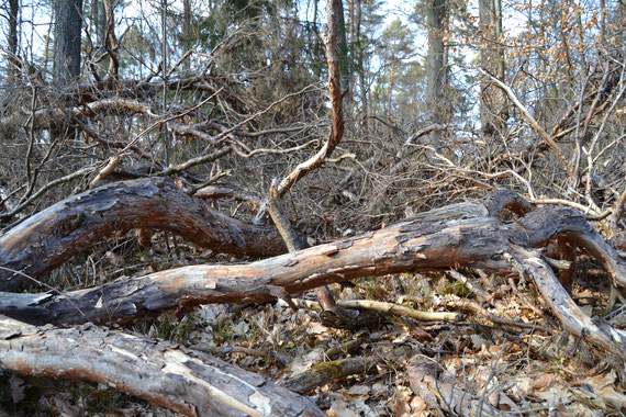 Brandgefährlich: Kronenholz nach starken Durchforstungen. Foto: C.Blank