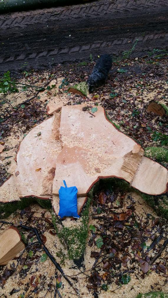 Gesunde Altbäume wie dieser, der jetzt fallen musste, werden im Pfälzerwald immer seltenert!