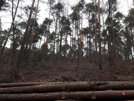 Januar 2020: alle naturverjüngten Jungbuchen wurden im Nadelholz-Unterwuchs herausgeschlagen. Warum entfernt man kostenlose Naturverjüngung von Laubbäumen, die zumindest als klimawandelresistenter gelten als die Kiefer?