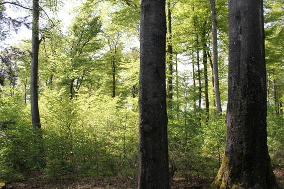 Buchenwald nahe Kernzone am Luitpoldturm im Pfälzerwald
