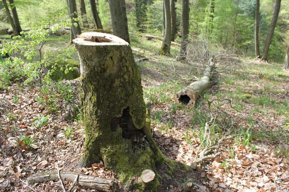 Dieser Baum stand nicht am Wegesrand - Verkehrssicherung ist also kein Argument!