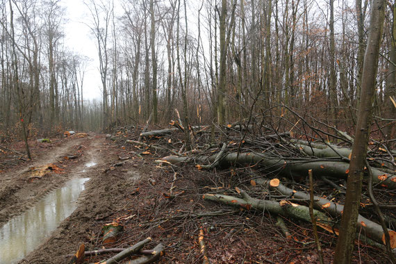 Ein mehrfach zertifizierter Buchenwald (Naturland, FSC und PEFC) im Stadtwald Merzig nach dem Herausschlagen der Altbuchen.