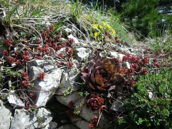 Sempervivum tectorum auf der Schwäbischen Alb. Foto: Manuel Werner