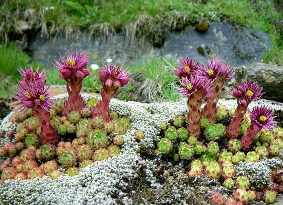 Die Art Sempervivum montanum (Berg-Hauswurz). Hier handelt es sich um S. montanum subsp. montanum in der Ortlergruppe (Alpen), das silbern erscheinende Moos ist Hedwigia ciliata. Foto: Manuel Werner
