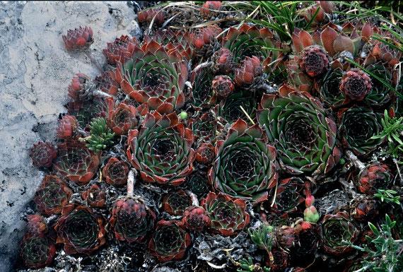 Sempervivum riccii bzw. Sempervivum tectorum, Monti Sibruini, in situ, Foto: Mariangela Costanzo, alle Rechte vorbehalten