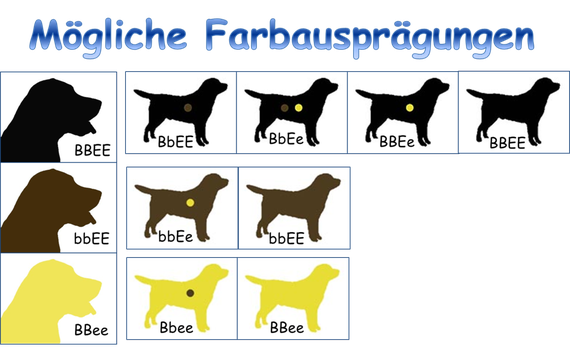 (Bilderquelle: http://www.brasberg-retriever.de/framedesign/farbvererbung)