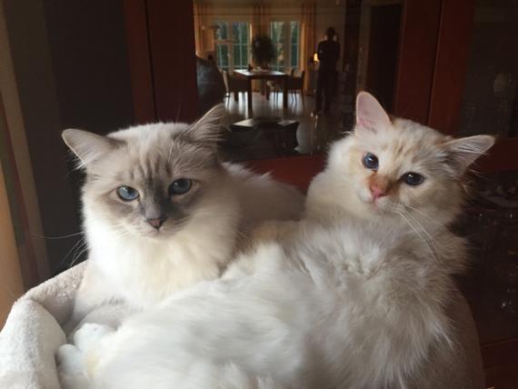 Birma Katzen,Joe und Vincent