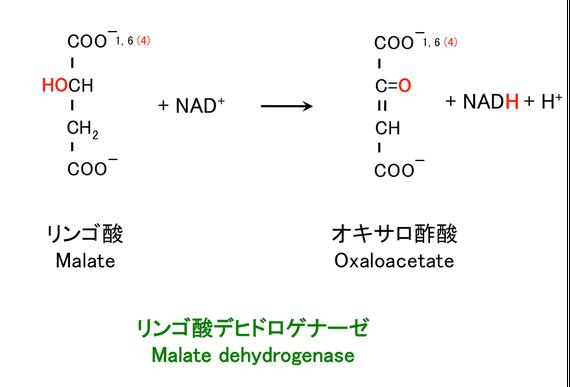 リンゴ酸の酸化とオキサロ酢酸の生成