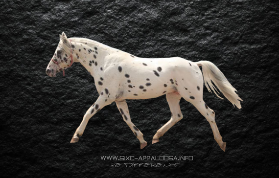Appaloosa Old-Line | Appaloosa Old-Foundation | Appaloosa Sport Horse | Appaloosa Classic | Foundaloo(sa) | By SIX C Appaloosa