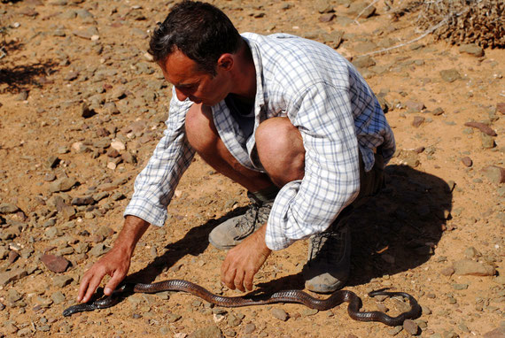 """""""Caresses"""" vigoureuses par l'auteur de la nuque d'un cobra d'Egypte au Maroc... Photo P. Roussard."""