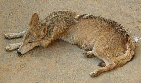 Indischer Wolf (Wikipedia c) Farhan)