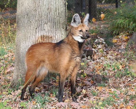 Mähnenwolf, Wikipedia c) Sage Ross