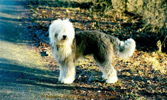 Bearded collie,Bobtail,Old English Sheepdog