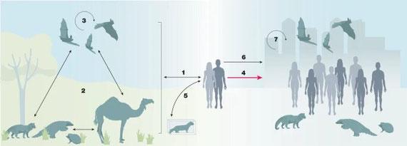 Cycles d'infection zoonotique naturelle des animaux domestiques ou de la faune (y compris les chauves-souris) aux humains et vice versa