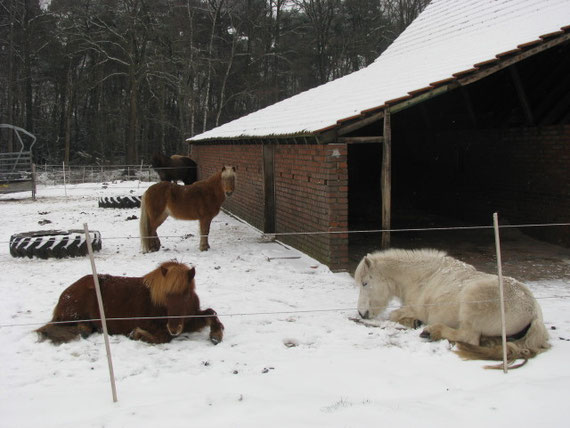 walker, islandhof, rhede, offenstall, islandpferde