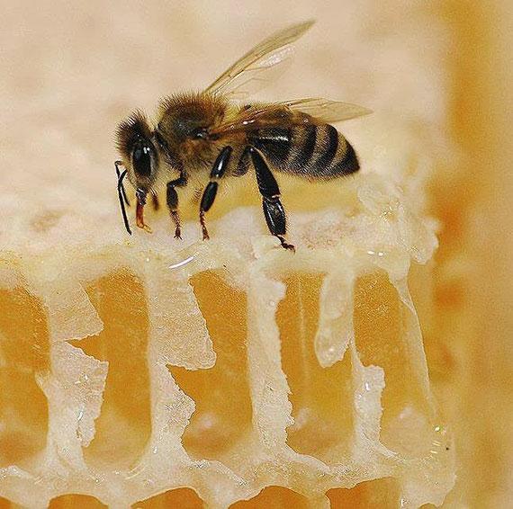Santa Monica Florida Bees