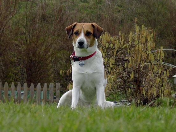 Dansk Svensk Gardhund in Schleswig Holstein