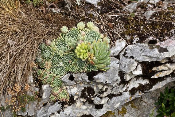 Dieses Rosettenpolster mit Blühtrieb wächst direkt an der Felskante, bei Spiazzi, 05.08.2011, in situ, Foto: Roberto Siniscalchi, alle Rechte beim Bildautoren!