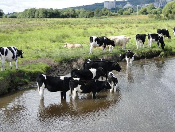 Wasserbüffel - oder doch eher schwitzende Kühe