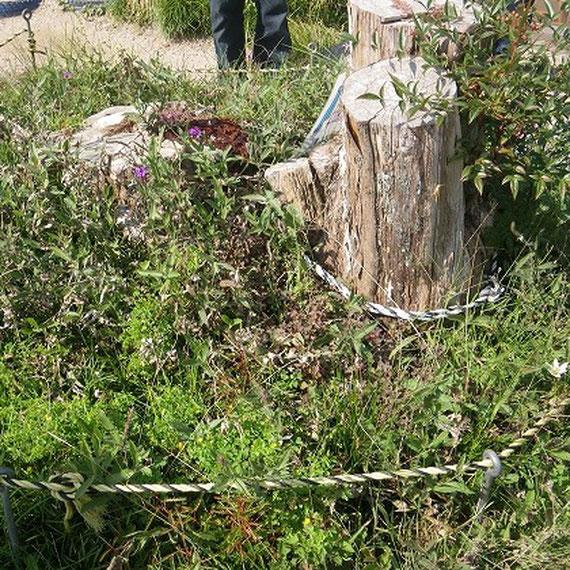 現在の浜松市立光明幼稚園の園庭にあり、樹高約10メートル、樹齢は200年以上とされています。本田宗一郎さんゆかりの「マキの木」が平成21年10月8日の台風18号の影響を受けて根元から折れてしまいました。折れてしまった木は平成22年3月に完成した「本田宗一郎ものづくり伝承館」の看板に利用するほか、伝承館内に展示保存されています。