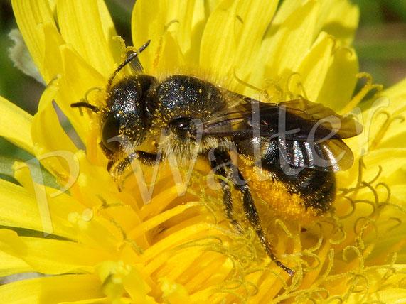 26.05.2017 : Wildbiene am Löwenzahn