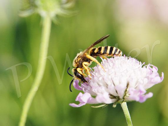 Bild: Gelbbindige Furchenbiene, Halictus scabiosae, Männchen, Skabiosenblüte