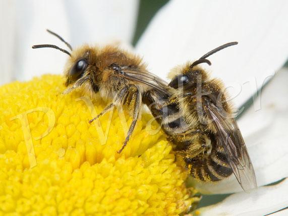 Bild: Seidenbienen, Colletes ..., Paarung, Wiesenmargarite