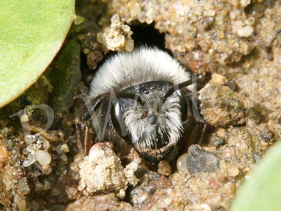 Bild: Graue Sandbiene, Andrena cineraria, kommt aus ihrem Erdloch