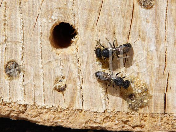 Bild: Löcherbienen, Osmia truncorum, falsch angebohrte Baumscheibe, Trocknungsrisse, kleine Lochgrößen, Harzverschluss