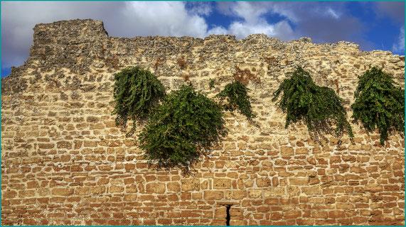 alcaparras plantadas na muralha medieval