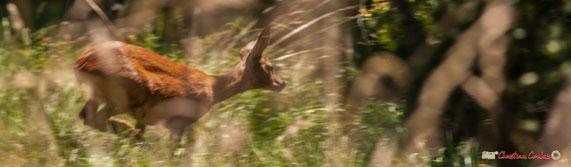 Chevrette, femelle du chevreuil, en grande course
