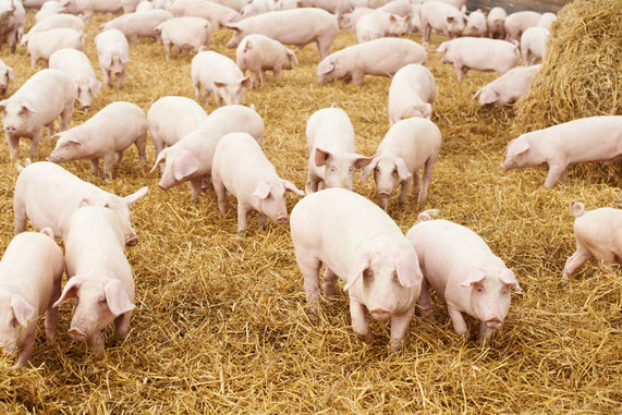 Vet-Team SH Schweinepraxis