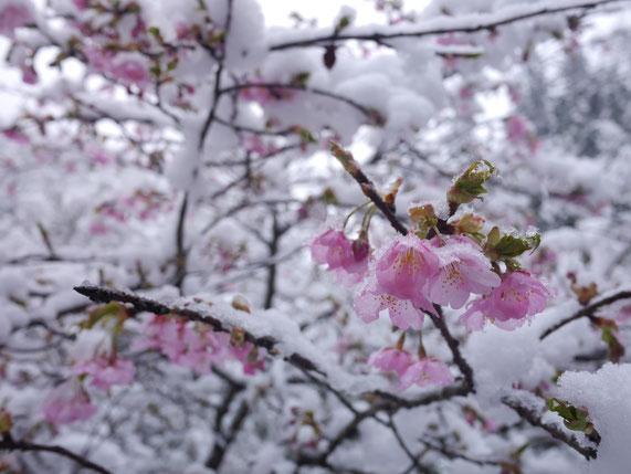 3月21日 氷川渓谷のカワズザクラ