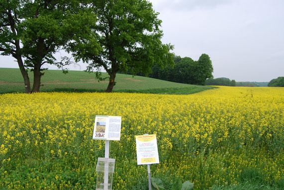 Im Mai beginnt die Rapsblüte in Schleswig-Holstein - und damit auch auf dem Lehrpfad Bothkamp.