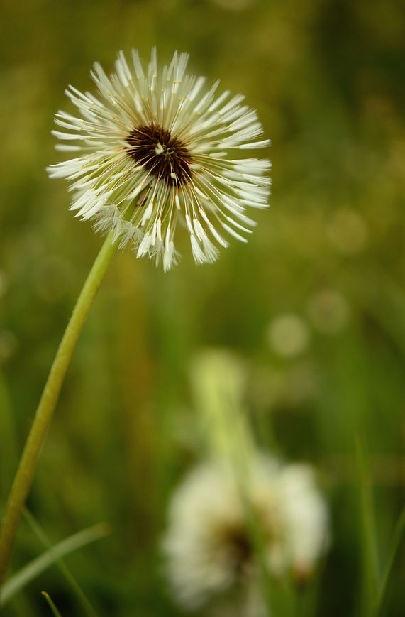taraxacum officinale seedhead