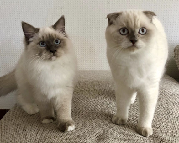 Scottish Straight (links) und Scottish Fold (rechts)