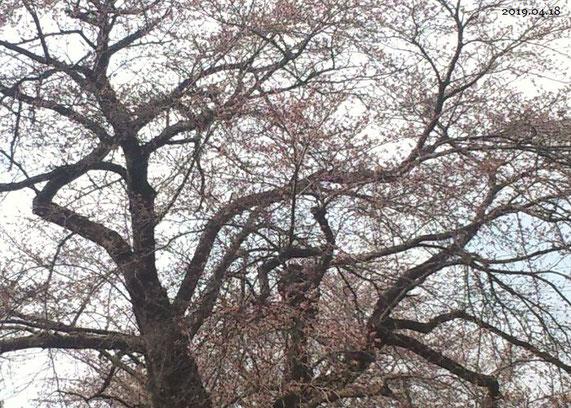 平成31年4月18日のソメイヨシノ